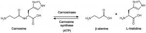 carnosine-metabolisme
